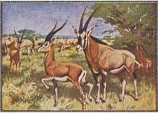 103 - Gazelle und Antilope