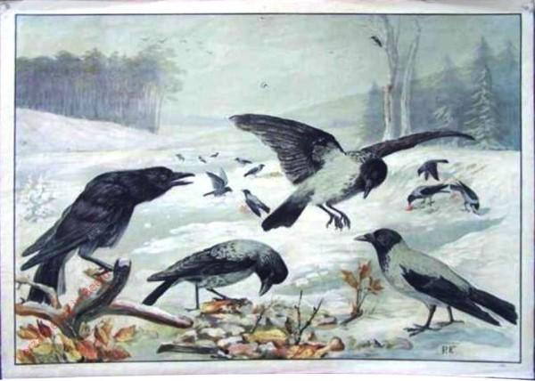 108 - Raben und Nebelkrähe