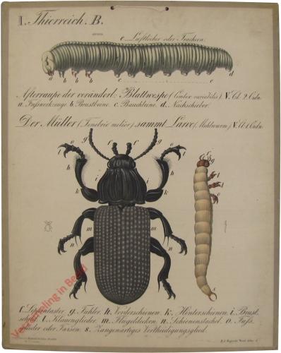 1 - Afterrsaupe der ver�nderlichen Blattwespe. Der M�ller, samt Larve (Mehlwurm)