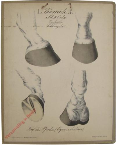 3 - Einhufer: Der Huf des Pferdes (Equus caballus)