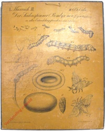 4 - Der Seidenspinner (Bombyx mori)