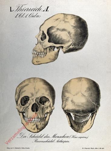 5 - Der Schädel des Menschen (Homo sapiens). Racenschädel: Aetheopier