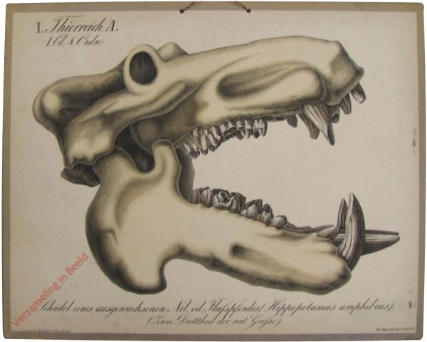 11 - Schädel einer ausgewachsenen Nil od. Fluschpferdes (Hippotamus amphibius)