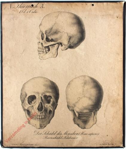 12 - Der Schädel des Menschen (Homo sapiens). Racenschädel: Kaukasus