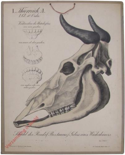 17 - Schädel des Rinds (Bos taurus)