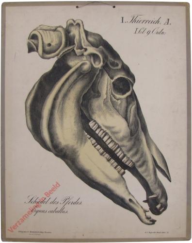 22 - Schädel des Pferdes (Equus caballus)