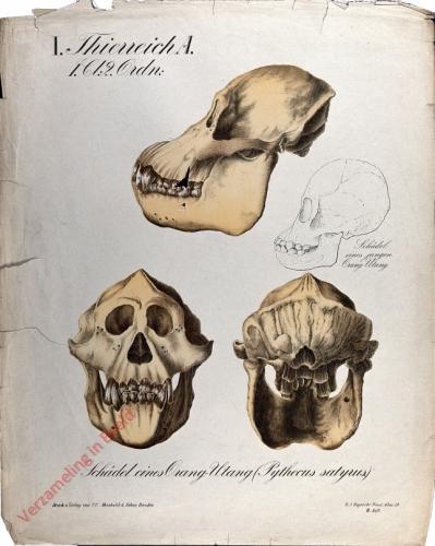 24 - Sch�del eines Orang-Utang (Pythecus satyrus)
