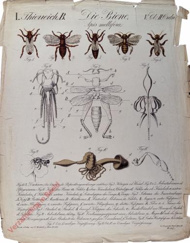26 - Die Biene (Apis Mellifera)
