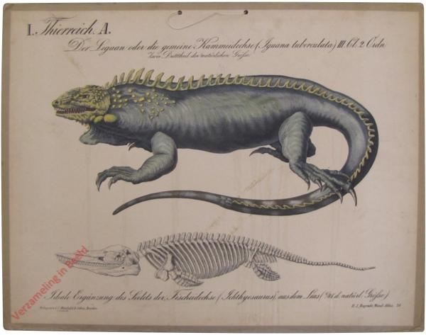 29 - Der Leguan oder die gemeine Kammeidechsel