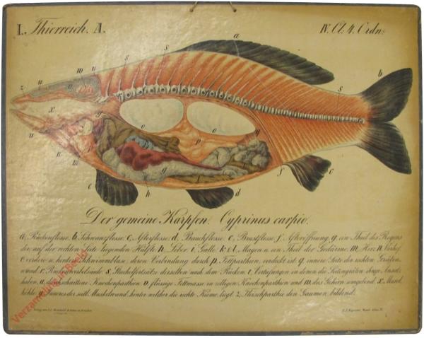 30 - Der gemeine Karpfen (Cyprinus carphio)