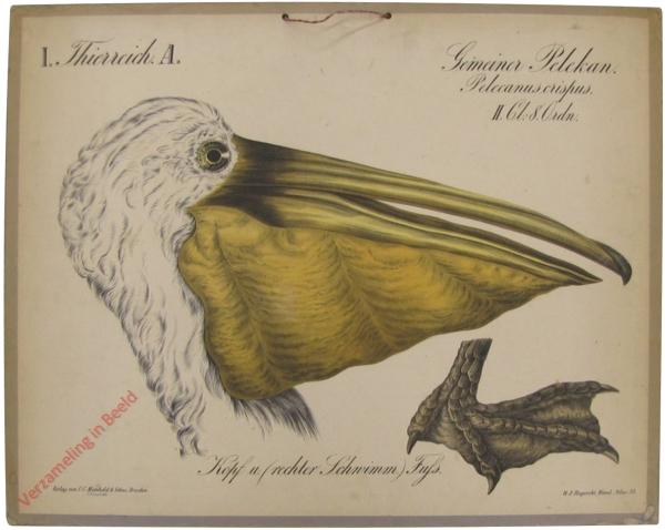 38 - Gemeiner Pelekan (Pelecanus crispus)