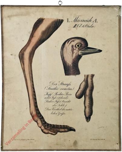 39 - Der Strauss (Struthio camelus)
