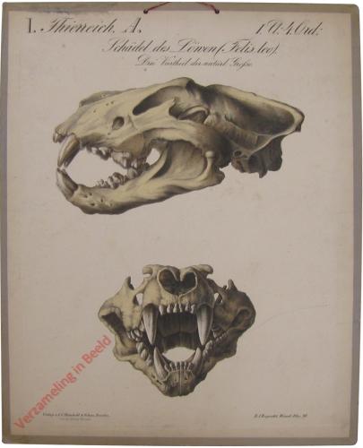 40 - Schädel der Löwen (Felis Leo)