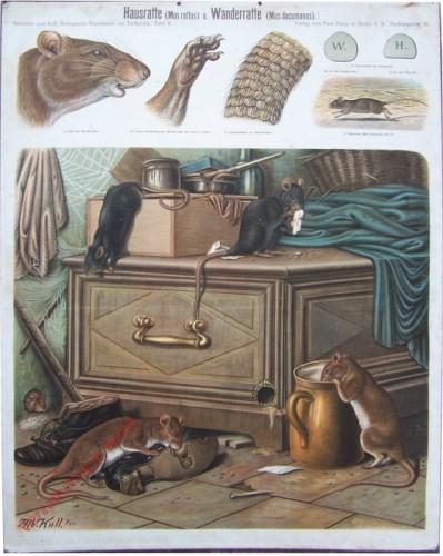 8 - Hausratte (Mus rattus) u. Wanderratte (Mus decamus)