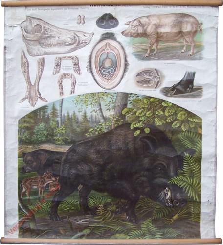 11 - Wildschwein (Sus scrofa)