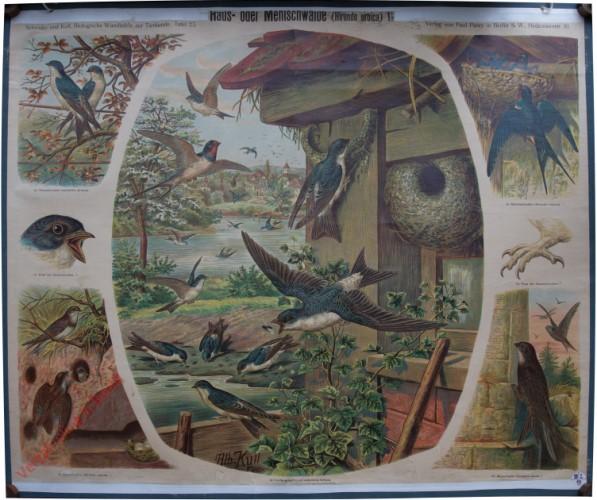 25 - Haus- oder Mehlschwalbe (Hirundo urb'iea)
