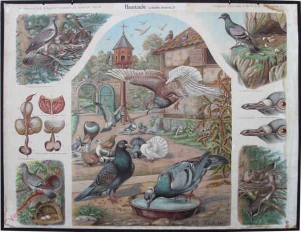 26 - Haustaube (columba domestica)