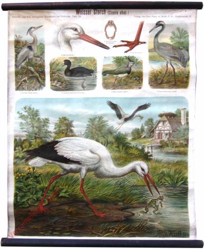 28 - Weisser Storch (Ciconia alba)