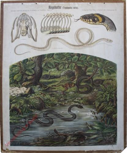 31 - Ringelnatter (Tropidonotus natrix)