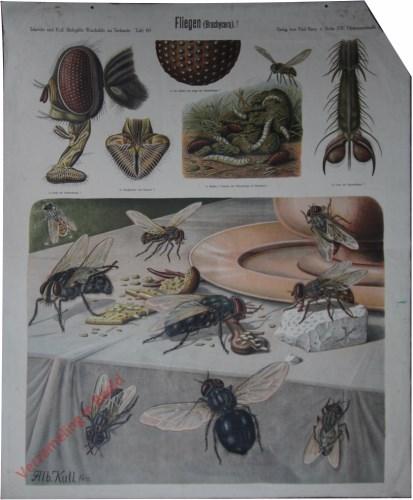 40 - Fliegen (Brachycera)