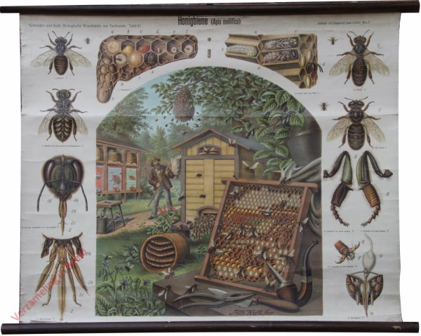 41 - Honingbiene (Apis mellifica)