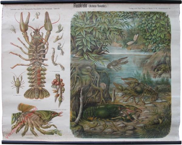 44 - Flusskrebs (Astacus fluviatilis)