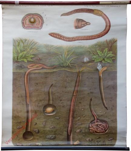 48 - Regenwurm (Lumbricus terrestris)
