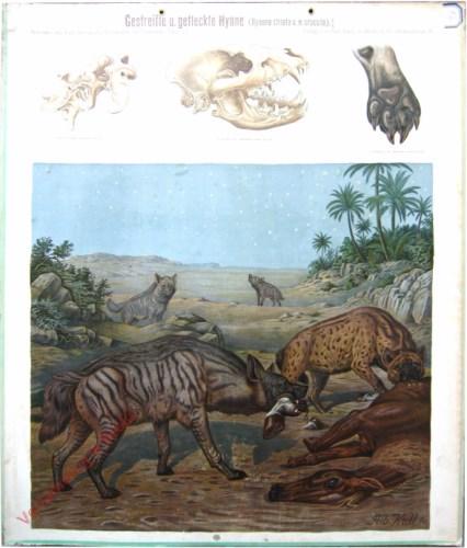 52 - Gestreifte u. gefleckte Hy�ne (Hyaena striata u. H. crucuia)