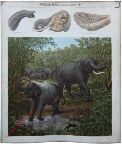 57 - Indischer Elefant (Elephas asiaticus)