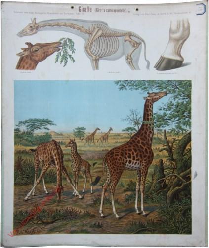 59 - Giraffe (Giraffa camelopardalis)