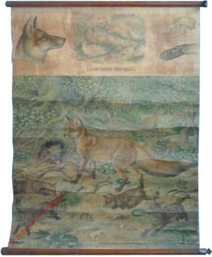 61 - Gemeiner Fuchs (Canis vulpes)