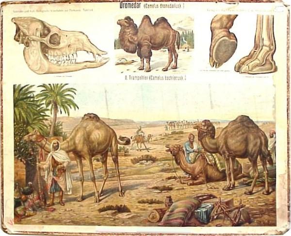 64 - Dromedar (Camelus dromedarius)
