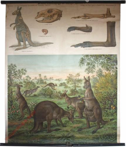65 - Grauen Riesenk�nguruh (Macropus giganteus)