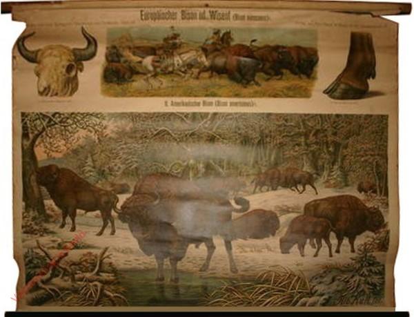 68 - Europaischer Bison od. Wisent (Bison europaeus)