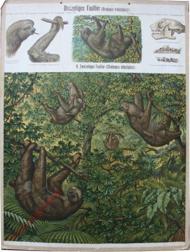 70 - Dreizehiges Faultier (Bradypus triactylus)