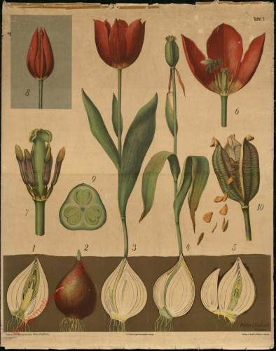 1 - Tulpe