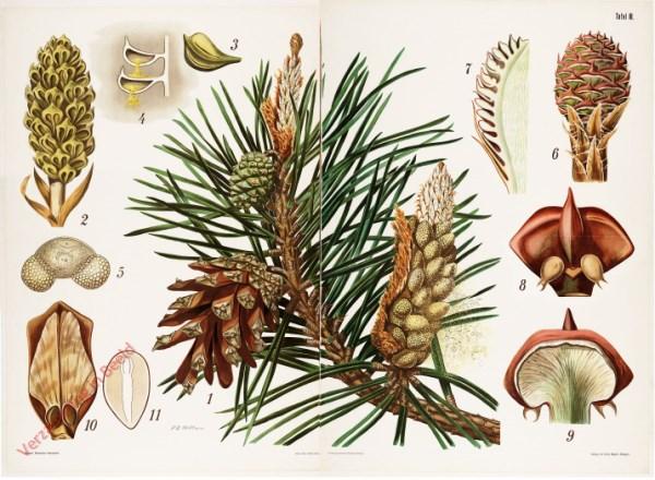 3 - Kiefer (Pinus sylvestris)