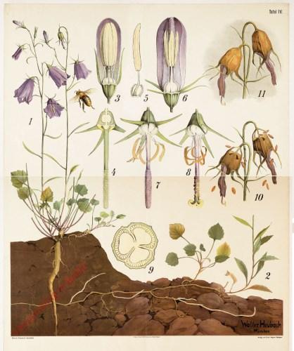 4 - Rundbl�ttrige Glockenblume (Campanula rotundifolia) [Uitgever Erwin N�gele]