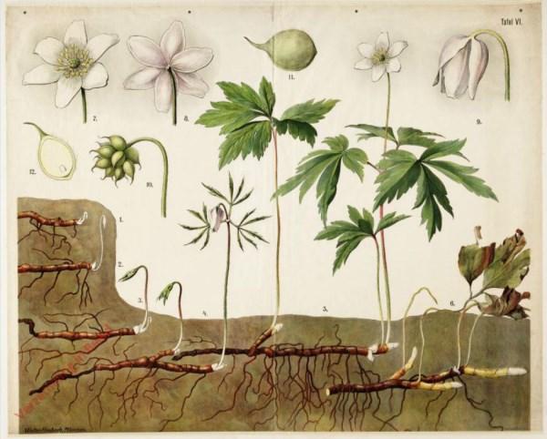 6 - Busch-Windr�schen (Anemone nemerosa)