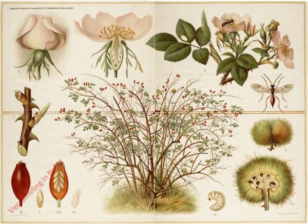 11 - Hundsrose (rosa canina)