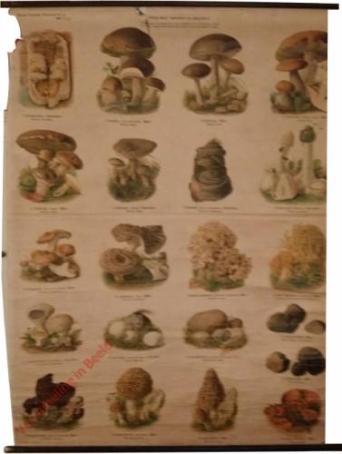 21 - Haufige essbare, ungeniessbare und giftige Pilze II
