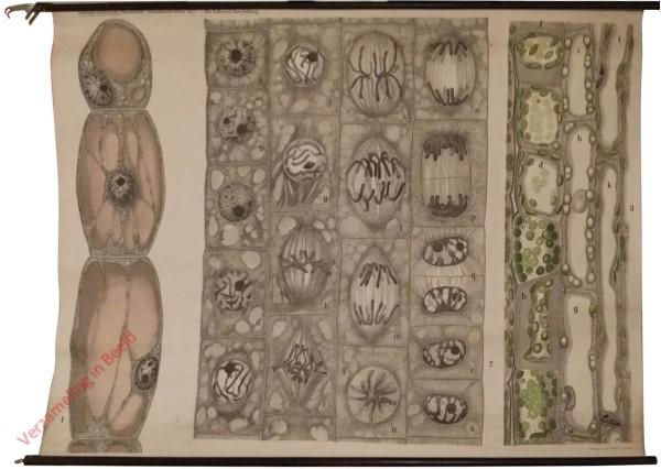 Anatomische Reihe, 1 - Die Zelle und ihre Teilung