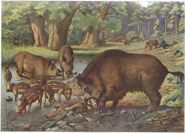 2 - Wildschweine in der Suhle