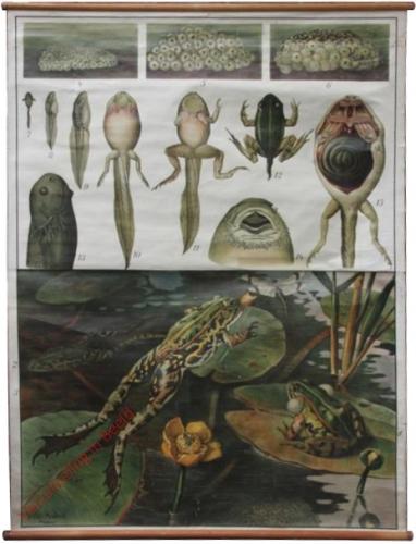 24 - Gr�ner Wasserfrosch (Rana esculenta) in seiner Entwicklung