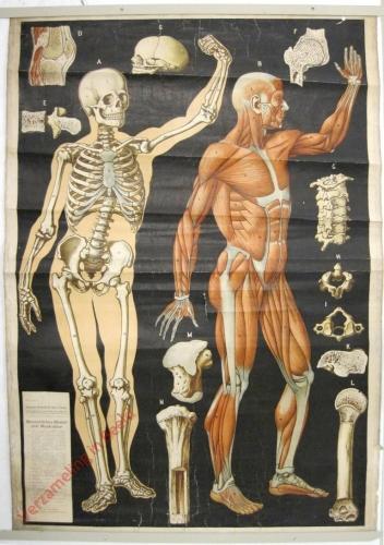 1/2 - Menschliches Skelett und Muscalatur