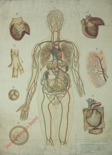 5 - Kreislauforgane