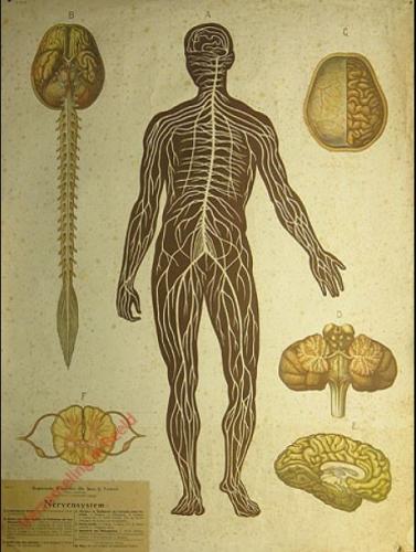 6 - Nervensystem