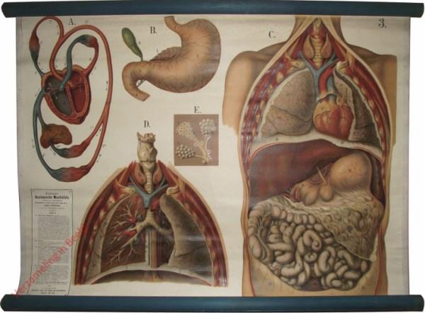 3 - Herz, Magen, Lunge