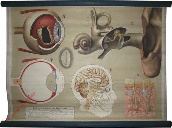4 - Auge, Ohr, Gehirn, Haut