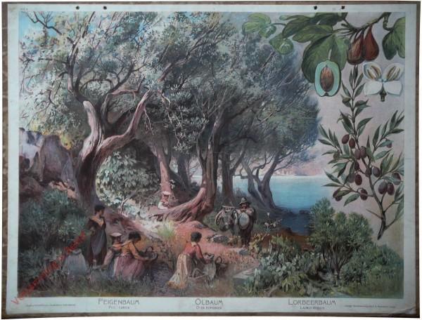 A.K. 8 - Feigenbaum (Ficus carica). Ölbaum (Olea europaea). Lorbeerbaum (Laurus nobilis)